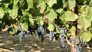 The plump, sweet Cabernet ripening grapes will make the best award-winning Cabernet this year.