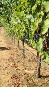 This is another part of the vineyard where the grapes are equally robust.