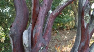 This is the red bark of the madrone tree, Arbutus menziesii, also known as Pacific madrona. It is native to the western coastal areas of North America, from British Columbia to California.