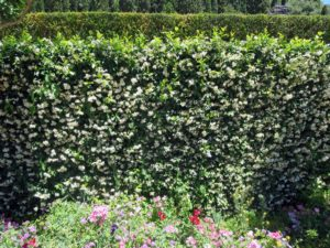 This is a wall of glorious jasmine - a vigorous climber, which bears numerous star shaped scented small flowers.