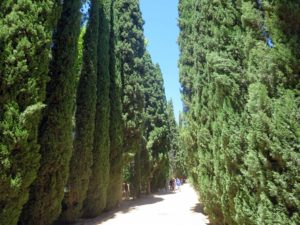 Tall cypress trees line many paths. Cypress trees have a straight trunk that tapers at the base, giving it a soaring perspective. They can grow 50 to 80 feet tall with a spread of 20 to 30 feet.