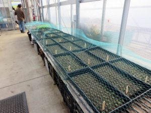 There are many different seeds growing on sliding tables. The trays are covered in netting to protect the seeds from pesky animals.