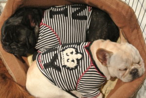 Two of my dear dogs - my French Bulldogs, Creme Brûlée and Bete Noire resting in their bed nearby.