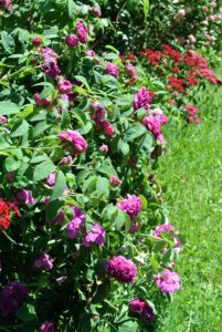 This is what the rose bushes look like in summer, when in full bloom.