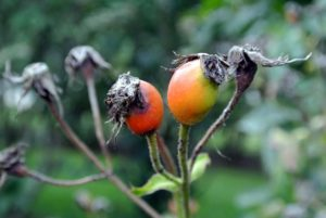 Rose hips are used for herbal teas, jams, jellies, syrups, rose hip soups, beverages, pies, breads, wines, and marmalades. They can also be eaten raw, like a berry - just be sure to avoid the hairs inside.