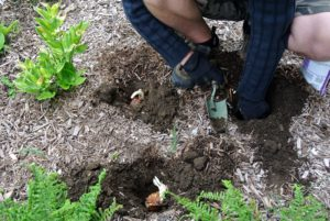 Once all the bulbs were planted, Ryan back filled the holes and slightly compressed the soil.