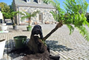 Meanwhile, Wilmer has the task of removing the giant tropical ferns from the decorative urns outside the stable. These tree ferns need to be placed in large plastic pots for winter storage.