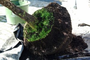 Using a sharp knife, Wilmer trimmed the root ball, decreasing its size, so it fits in the plastic pot. He also cut through the bottom roots.
