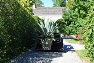 """Moving such a large potted plant requires strength, care, and the right equipment. A moving blanket cushions the cement pot and an adjustable moving strap is tightened around it, securing the pot to the loader. This is an original """"Watts Pot"""" made of limestone and concrete."""