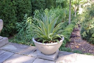 I also love to display my tropical specimens behind my Summer House, on the terrace facing my sunken Boxwood and Ginkgo Garden. This is one of two agaves I planted in these handsome containers this summer.