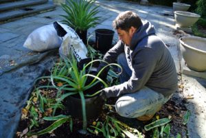 Before each plant gets placed into the hoop house, it is examined, and if necessary, repotted. There were a lot of plants in line to repot.