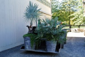Moving these tropical specimens is a tedious task - some of the larger potted plants weigh hundreds of pounds. My outdoor grounds crew foreman, Chhiring Sherpa, uses a John Deere tractor to move them.