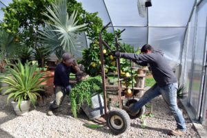 Wilmer and Phurba unload a plant using a giant hand truck. In past years, I've kept most of my citrus collection in this greenhouse next to my Equipment Barn. Now that many of them have moved next door to the vegetable greenhouse, there's more room here, where I also keep agaves, a collection of alocasia and colocasia and other tropical specimens.