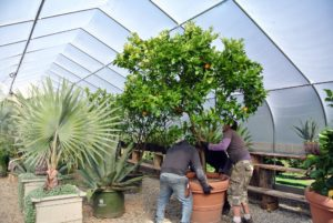 My head gardener, Ryan McCallister, oversees the moving of all these plants. Here, he guides the crew as they rotate the large citrus tree, so it does not touch any of the other specimens, or the ceiling. This is Citrus sinensis 'Blood Orange' - I really love the fruits of this tree because its distinctive tasting flesh is purple rather than orange.