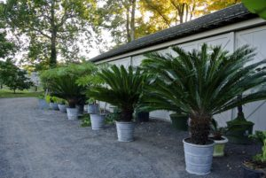 Many of the tropical plants from Maine and East Hampton are returned here to my Bedford, New York farm because there is more room here to store and maintain them properly.