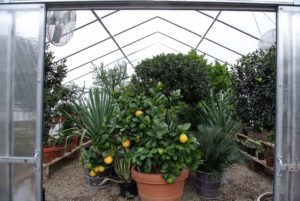 This 'Ponderosa' citrus tree is usually the last pot to be stored in the hoop house before winter. I always keep it in the front just behind the doors when all my citrus plants are put inside.