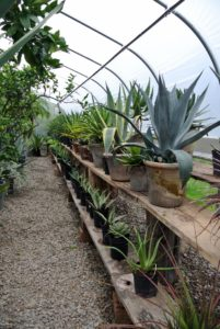 Agaves are so beautiful, but be sure to keep them in low traffic areas, as their spikes can be very painful. And always wear gloves and eye protection when dividing because the sap can burn.