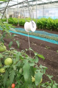 Jack also showed us the interesting pulley system they use to create tighter, more efficient rows for their tomatoes.