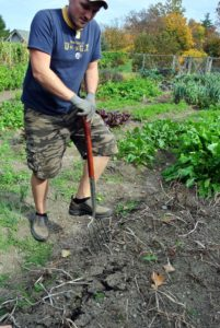 Because potatoes grow underground, it is always a surprise to see how prolific the plants have been. Here, Ryan moves some of the soil in search of potatoes.