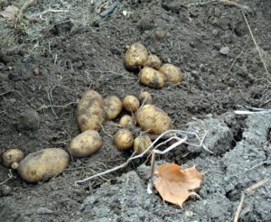 These plants were not planted too deeply - all the potatoes were buried within the top five-inches of soil. Every variety yielded a good amount of potatoes.
