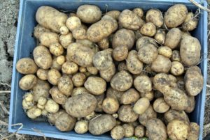 Never wash potatoes until right before using - this shortens the potato's storage life.
