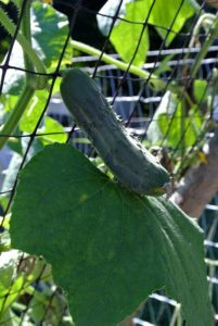 And crispy cucumbers grow wonderfully on my trellises.