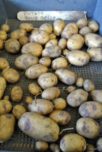 Blue Belle seed potatoes have a waxy consistency and are great for baking, and boiling.