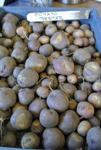 Jester potatoes have purple skin with yellow around the eyes and variegated purple and yellow flesh. Because of their interesting appearance, they are fun for home gardeners to grow, and they are good for salads, or roasting.
