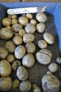 Yukon Gold is a large variety of potato most distinctly characterized by its thin, smooth eye free skin and yellow tinged flesh.