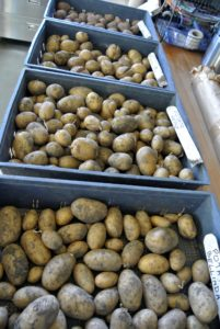 Ideally, potatoes should be kept in an environment around 45-50 degrees Fahrenheit. They can be stored in bins, boxes, or even paper bags - just nothing air tight to prevent rotting. And, don't store with apples - the ethylene gas will cause the potatoes to spoil. In addition, they should never be stored in the refrigerator. So many potatoes - I can't wait to try them all.