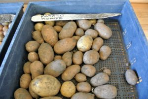 Pioneer potatoes are long oval-shaped tubers, and are best for roasting, frying, and baking.