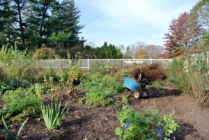 Wilmer has been busy clearing garden beds. The removal of annual and herbaceous plant debris from the flowerbed is very important. Keeping the beds clean decreases the chance of disease and insect problems in the spring.