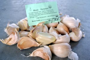 The Music Porcelain garlic is easy to grow. Raw, this garlic is very hot-flavored, but it mellows when it is baked or roasted.