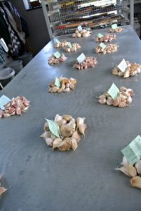 In all, there were 16 different hardneck garlic varieties. The next step is to prepare them for planting.