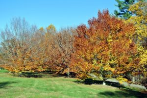 And this is how they looked yesterday.These American beech trees offer a beautiful autumn show every year.