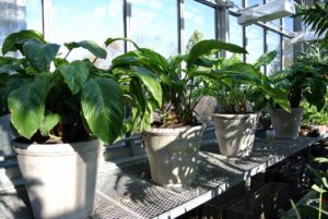 Tacca integrifolia plants will thrive in bright light, but should not be exposed to direct sunlight - such great plants in great pots!