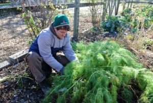 It is a windy 38-degrees Fahrenheit, but the root crops are doing wonderfully in my vegetable garden. Here's Ryan at the fennel bed.