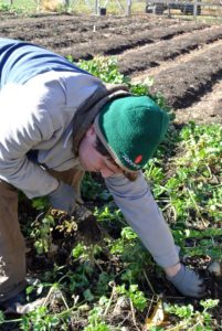 Ryan moves to a bed of celeriac, a variety of celery cultivated for its edible roots.