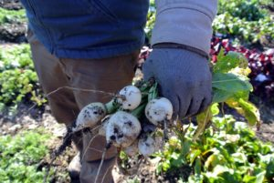 These are turnips - round, tuborous roots grown as one of the cool-season vegetables.