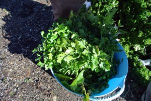 Ryan also harvested a trug bucket full of parsley.