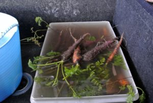 All the carrots are placed in a tub of water to loosen the dirt.