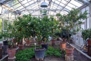 And of course, my wide collection of citrus plants, including the calamondin on the right, now housed in my vegetable greenhouse - I find inspiration in all my gardens every day.