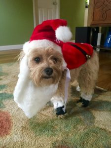 """Thanksgiving is the official start of the Christmas season, so the following day, I dressed my dog, Oliver, up as Santa in celebration!"""