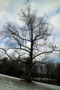 A stately old sycamore tree - the symbol of my farm, Cantitoe Corners.