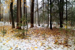 The autumn leaves look so pretty in the woodlands mixed with white.