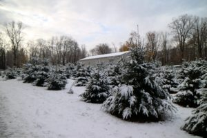 The Christmas tree grove is thriving - all of these trees are growing more each year. They look so beautiful with their branches dusted with glistening snow.