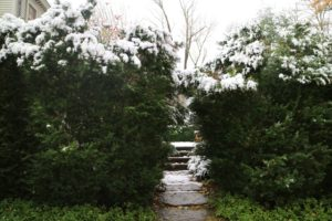 Here is the side entrance to my ginkgo and boxwood garden behind the  Summer House. The snow collected on the tops of these American boxwood hedges. In winter, these hedges are netted to protect them from the elements.