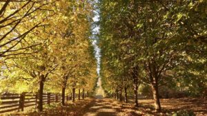 American lindens are grand deciduous trees that can grow up to 130-feet tall. They feature highly distinguishable leaves that are heart-shaped and asymmetrical. In autumn they turn from bright green to brilliant yellow.