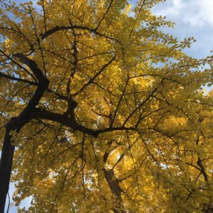 The ginkgo tree in the courtyard was just a sapling when Wright bought the empty lot in 1889.