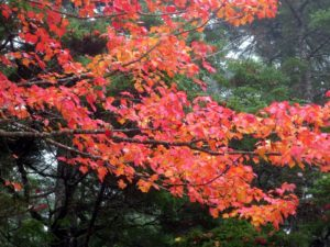 A closer look at the maple tree above with its stunning yellow and red leaves.